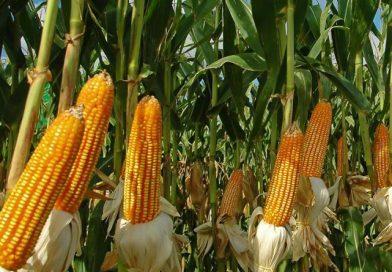 Híbridos de maíz como alternativa alimentaria y productiva
