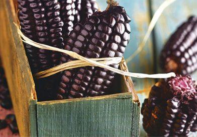 Investigan propiedad medicinal del maíz morado