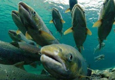Un escáner 3D podría salvar a los salmones de sufrir epidemias